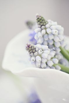 Light Blue Grape Hyacinths