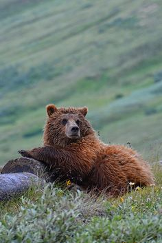 Lounging Grizzly by Rebecca Tifft .Grizzly Bear
