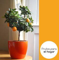 Árboles de naranja o limón, hacen grandes plantas de interior.