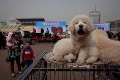 Encore plus trendy que de s'afficher avec un sac Hermès Birkin: se promener avec ce chien en laisse est du dernier cri parmi les Chinois aisés…Véritable symbole de statut social, les mastiffs tibétains se vendent jusqu'à 1 000 000 euros lors de foires, dans une province du sud de Beijing