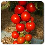 Organic Annelise F1 Hybrid Tomato
