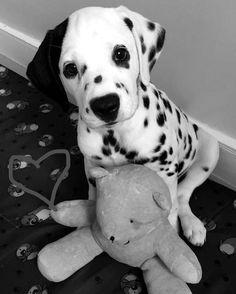 Simple Dalmation Chubby Adorable Dog - 5b0770a96305ddeaefb34b69c3bada20--dalmatian-puppies-dalmatians  Gallery_99737  .jpg