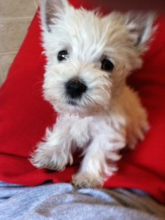 our little westie pup, oliver. always loved and missed :(