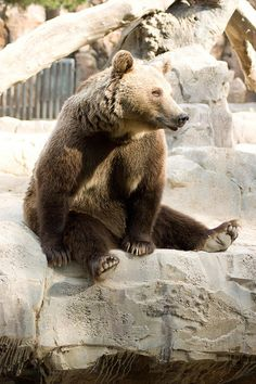 Brown Bear (Ursos Arctos), Madrid Zoo by spencer77