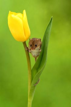 Flower beds - harvest mice sleep in tulip blossoms - storytrender, . - Flower beds – harvest mice sleep in tulip flowers – storytrender, beds - Cute Baby Animals, Animals And Pets, Funny Animals, Animal Babies, Small Animals, Animals Images, Nature Animals, Beautiful Creatures, Animals Beautiful