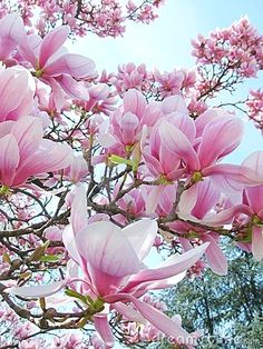 The Magnolia are the first ones to bloom. – Yorxs The Magnolia are the first ones to bloom. The Magnolia are the first ones to bloom. Magnolia Trees, Magnolia Flower, Magnolia Bush, Magnolia Mom, Saucer Magnolia Tree, Magnolia Stellata, Sweet Magnolia, My Flower