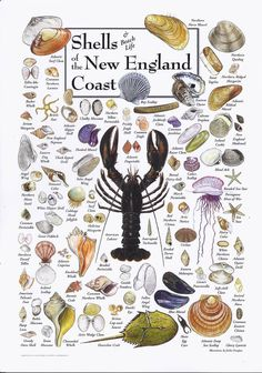Buy the Shells of the New England Coast Poster by John Douglass & Jackie Leatherbury Douglass and more quality Fishing, Hunting and Outdoor gear at Bass Pro Shops. Long Island Sound, New Hampshire, Seashell Crafts, Seashell Projects, Seashell Ornaments, Seashell Art, Beach Crafts, Ocean Life, Rhode Island