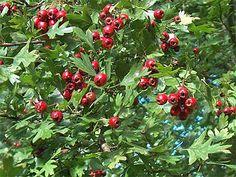 Hawthorne Foliage