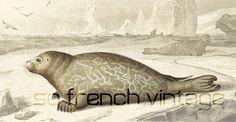 1861 Phoque gravure ancienne Ch. d' Orbigny Original Qualité Exceptionnelle Histoire Naturelle Lithographie peinte à la main Vie des Océans