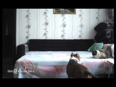 Hidden Camera Catches Dog's Joyful Spree Once Owner Leaves House. *OMG. I'm DYING!!!! Watch the Cat's response throughout the video, and at the end. SO typical!!! Hahaha