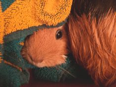 How to bath a Guinea Pig like an expert - Surrounded By Animals 🐾 Pig Stuff, Guinea Pigs, Bath, Animals, Bathing, Animales, Animaux, Animal, Animais