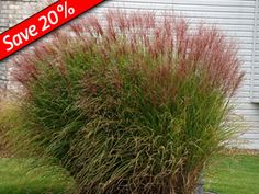 Ornamental Grasses Zone 7 Which ornamental grasses will deer leave alone pictures of deer resistant easy to grow miscanthus gracillimus zone 5678 workwithnaturefo