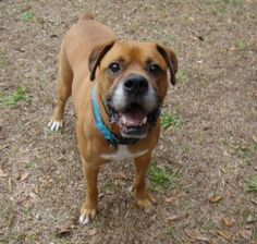 ROMEO is a 4 year old Boxer Mix. He was found as a stray and showed all signs of neglect but still was the friendliest dog ever. Because of his past experiences he needs a little more time to warm up to men. He is a little shy and observing at...