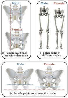 Saddles for Women Male vs Female Comparison Human Anatomy For Artists, Human Anatomy Drawing, Human Body Anatomy, Human Anatomy And Physiology, Muscle Anatomy, Girl Anatomy, Anatomy Bones, Anatomy Study, Anatomy Reference