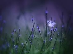 #mariposa, #mancha, #púrpura, #verde, #hierba, #blanco, #macro, #flores, #campo