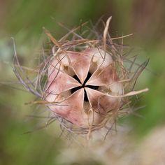 Nigella Seed Pod opening