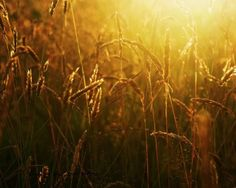 golden grasses