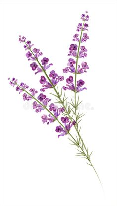 Illustration of Lavender Watercolor drawing Vector vector art, clipart and stock vectors.Illustration about Lavender. Illustration of flora, flower, evaporator - 37019403 Floral Illustrations, Botanical Illustration, Watercolor Drawing, Watercolor Flowers, Art Floral, Tattoo Buch, Lila Tattoo, Fond Design, Plant Art