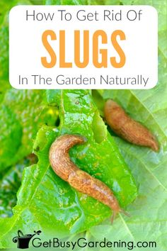 Slugs are destructive pests that cause major plant damage overnight. Learn everything you need to know about how to get rid of slugs in the garden for good! Slugs In Garden, Garden Pests, Garden Tools, Gardening For Beginners, Gardening Tips, Slug Trap, Pest Control, Slug Control, Getting Rid Of Slugs