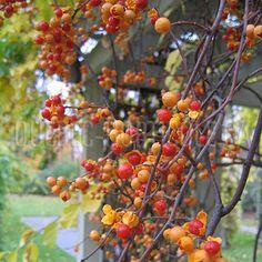 image de Celastrus orbiculatus Recherche Google, Fruit, Easy, Photos, Gardens, Fast Growing, Flower Colors, Index Cards, Plants