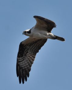 An osprey swoops for home at Caw Caw Interpretive Center in Ravenel, South Carolina.