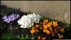 kwiaty wiosenne w ogrodzie - krokusy  #kwiaty #flowers #polish flowers #polskie kwiaty #kwiatki #kwiaty ogrodowe #kwiaty polne #kwiaty leśne #przebiśniegi #śnieżyczki #pierwiosnki #kwiaty wiosenne #wiosna #spring #krokusy #przebiśniegi #hiacynty #przyroda #natura #kwiaty wiosenne #spring flowers #polish flowers #Polskie kwiaty #ogród #garden #ogrodnictwo #ogrodnik #garden-flower