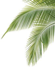 palm tree leaves - illustration
