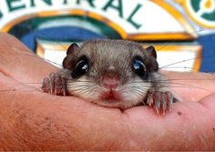 Baby flying squirrel...
