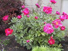 Peonies Feng Shui Plants For Outdoor