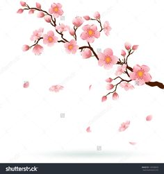 Cherry Blossom Branch With Falling Petals Isolated On White. Space ...