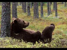 A charming Finnish bear. Spirit Bear, Spirit Animal, Bear Totem, Funny Animals, Cute Animals, Brother Bear, Power Animal, We Bear, Bear Photos