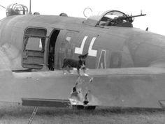 Focke Wulf Fw200 Condor, dog inspection his airplane combat damged
