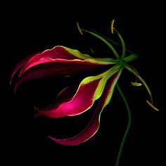 EXOTICA 5... Gloriosa superba LILY... by Magda Indigo on 500px