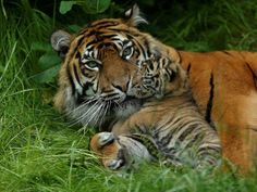 Tiger cub and her mum ♥