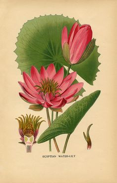 """""""Water Lily Botanical"""" in 50 Favorite Free Vintage Flower Images - The Graphics Fairy"""