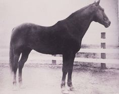 """Old Sorrel,"" the stallion with no official name, was the cornerstone of the King Ranch's breeding program. Old Sorrel P-209 was inducted into the Hall of Fame in 1990. Learn more about the AQHA Hall of Fame inductees at http://aqha.com/Foundation/Museum/Hall-of-Fame/Hall-of-Fame-Inductees.aspx ."