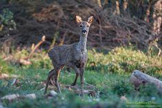 Capreolus capreolus,Female deer, Corzo hembra