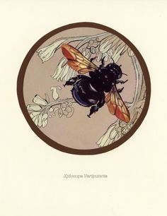 Scientific Illustration — snippets-and-snatches: Some bees, from. Nature Illustration, Botanical Illustration, Bee Images, Carpenter Bee, I Love Bees, Bee Art, Bees Knees, Art Reference, Halloween