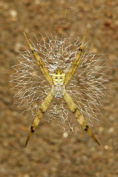 Writing Spider (Argiope sp., Araneidae) | by John Horstman (itchydogimages, SINOBUG)