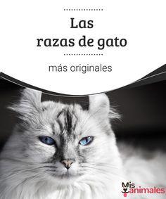 Las razas de gato más originales  Los gatos nos han fascinado desde que están entre nosotros. A continuación te traemos un listado con algunas de las razas de gato más originales. #razas #gatos #originales #curiosidades