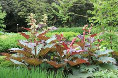 Rheum palmatum tanguticum
