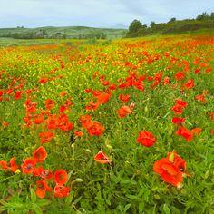 Tuscany, Pienza Poppies « Igor Menaker Fine Art Photography
