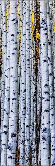 ✯ Grove of Aspens near Ashcroft Colorado :: Photography by Thomas OBrien ✯