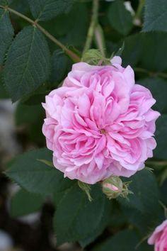 Queen Of Denmark - Albas - Old Garden Roses - Roses - Heirloom Roses