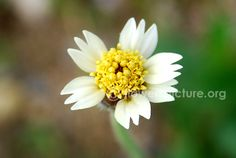 tridax procumbens coat buttons