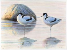 Avocets by Lars Jonsson. Bird Illustration, Bird Drawings, Watercolor Bird, Wildlife Art, Various Artists, Bird Art, Beautiful Birds, Bird Paintings, Animals