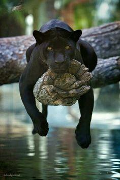 Black Jaguar Cat