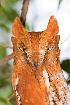 Oriental Scops Owl (Otus sunia) by Vickey Chauhan Beautiful Owl, Animals Beautiful, Cute Animals, Owl Photos, Owl Pictures, Exotic Birds, Colorful Birds, Owl Bird, Pet Birds