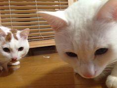 we are so close...yes!almost there! #cat #pet #petsitter #setagayaku #cute #かわいい #猫 #白猫
