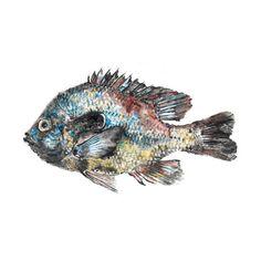 Longear Sunfish Gyotaku by Inked Animal